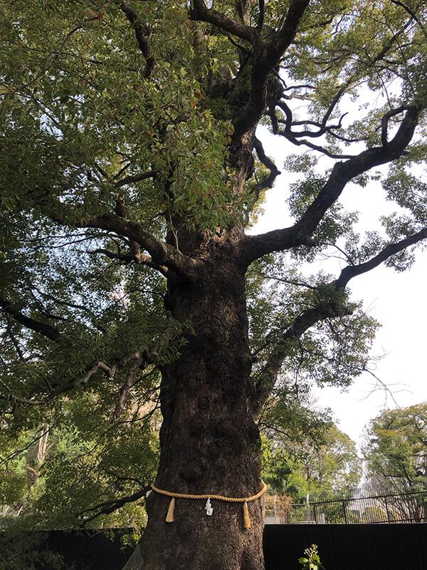 日本の木について②