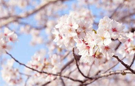 日本の国花