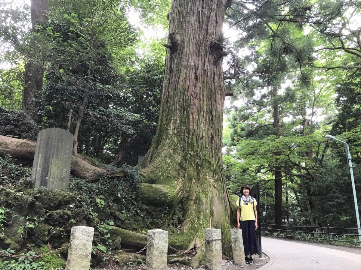 高尾山の蛸杉